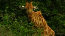 Giraffe Grazing While Looking Towards Camera