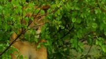 African Lions Avoiding The Rain In Kruger National Park, South Africa