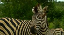 Plains Zebra Annoyed With Oxpecker Crawling Inside Zebras Ear