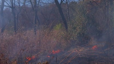 Tallgrass prairie fire burning near the edge of a woodland