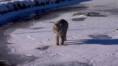 Bobcat adult walking slowly on a frozen creek towards the camera