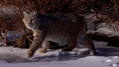 Bobcat walking out of the shadows into the light on a frozen creek