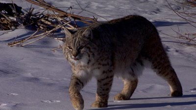 Bobcat walking on snow covered frozen creek towards camera as camera pulls back