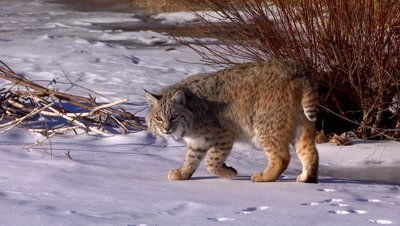 Bobcat turning towards camera while looking for something on frozen creek