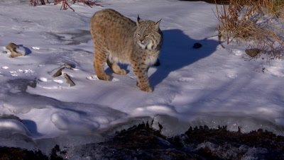 Bobcat walking on the edge of a creek in winter as water flows past