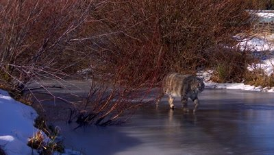 Bobcat waking on frozen creek ice in early morning light