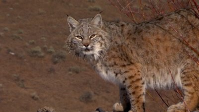 Bobcat turning and looking at camera in early morning light
