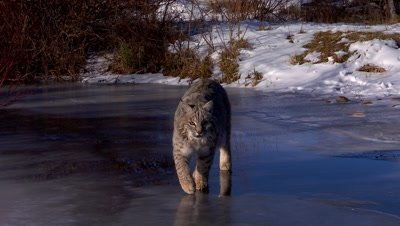 Bobcat walking on frozen creek ice with blue sky reflection towards camera