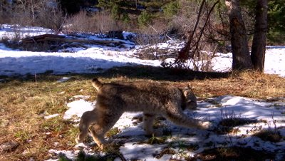 Lynx juvenile staring intently at something then walking out of frame