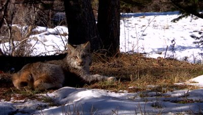 Lynx juvenile laying in the sun looking at camera then running out of frame