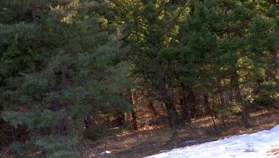 Mountain lion chasing a flock of wild turkeys in the trees