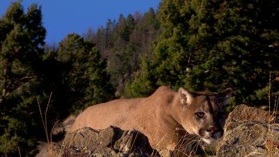 Mountain lion walking up over a ridge