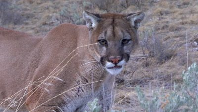 Mountain lion licking its chops