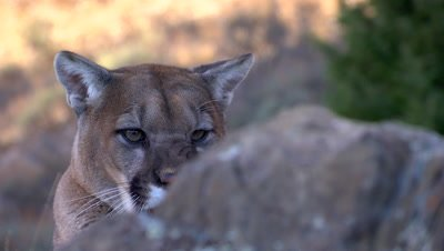 Mountain lion peering from behind rock ledge