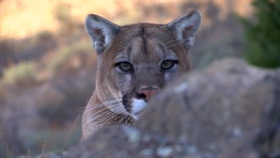 Mountain lion peering at camera from behind rock ledge