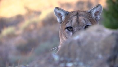 Mountain lion head hoping up from behind rock ledge
