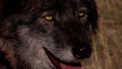 Black phased Gray wolf closeup