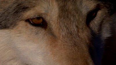 Gray wolf closeup of eyes