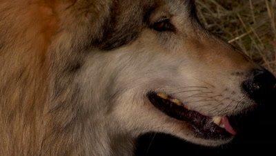 Gray wolf closeup panting