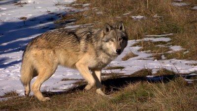 Gray wold loping towards camera