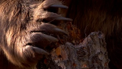 Grizzly bear claws closeup tearing at tree stump
