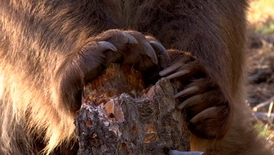 Grizzly bear claws rotted tree stump