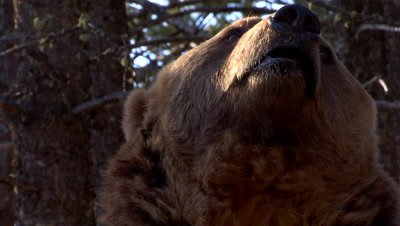 Grizzly Bear sniffing the air