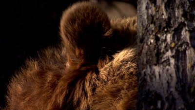 Grizzly Bear ear listening from behind a tree