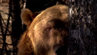 Grizzly Bear sniffing and looking out behind the shadows of the trees