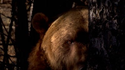 Grizzly Bear appearing out of the shadows of a tree