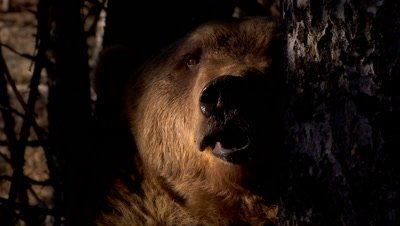 Grizzly Bear peering out from the shadows behind a tree