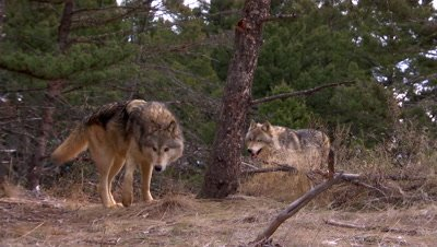 Gray wolf sniffing tree of scent
