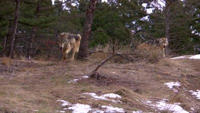 Gray wolf coming over top of a ridge