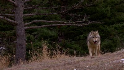 Gray wolf trotting over a ridge then walking out of frame