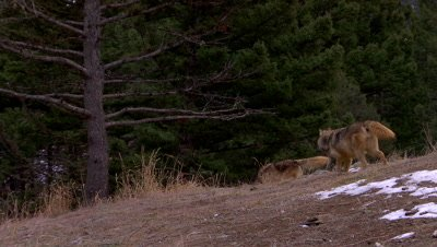 Gray wolf running down a ridge and out of sight