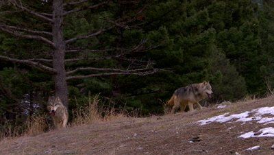 Gray wolves coming over the top of a ridge