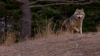 Gray wolf coming over the top of a ridge