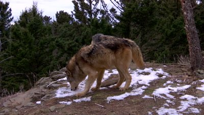 Gray wolf eating snow looking for scent