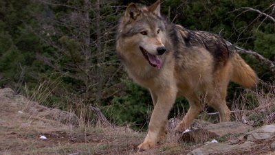 Gray wolf trotting into frame