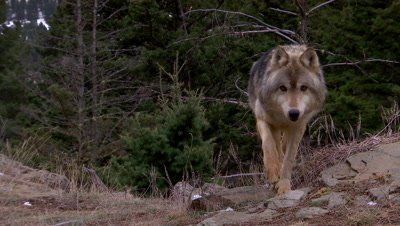 Gray wolf walking towards camera then second wolf comes over the ridge