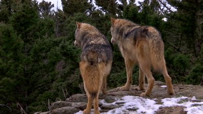 Two gray wolves looking down over the top of a ridge