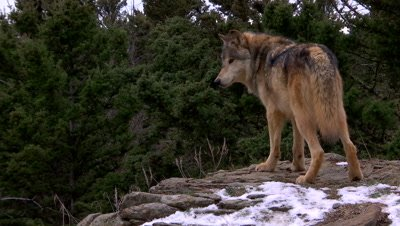 Gray wolf looking down a ridge then turning towards camera