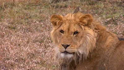 African lion looking towards camera