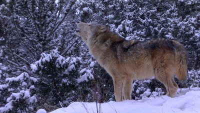 Gray Wolf howling o pack in a snowstorm