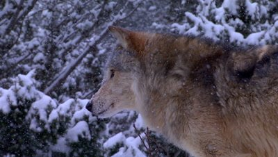 Gray Wolf staring intently down the valley