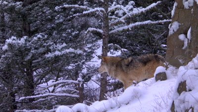 Gray Wolf staring that walking through the snow
