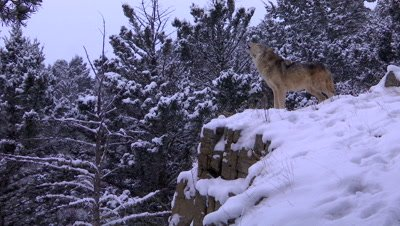 Gray Wolf howling to pack in a snowstorm
