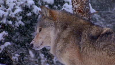 Gray Wolf staring intently down the valley then walking away eating snow