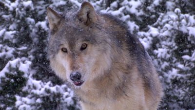 Gray Wolf looking around then walking away during snowstorm