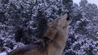 Gray Wolf howling in snowstorm